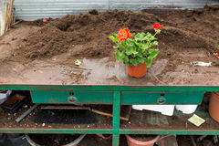 Preparation of plants or flowers for transplantation, in horticulture, in house greenhouses. stock photography