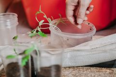 Hand takes fragile tomato sprout from plastic box. Preparation of seedlings. A woman`s hand takes a thin green tomato from a round plastic box Royalty Free Stock Images