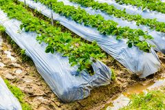Preparation of soil for Strawberry cultivation, Strawberry field. Partially covered with white fleece, Agricultural fleece on field, Rows with strawberry plants stock image