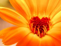 Free Preparations Made On The Basis Of Calendula Have A Calming Effect On The Central Nervous System Stock Image - 142525011