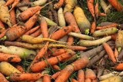 Preparato della carota - arancio, giallo classici, bianco ed il nero Fotografia Stock