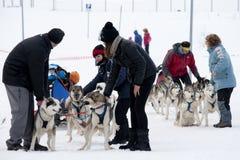 Preparazione dei cani di slitta per la corsa Immagini Stock Libere da Diritti
