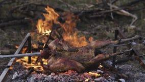 Preparazione dei gallinacei, cercante tema Cucinando un intero corpo del fagiano su un ferro infilza sopra un fuoco di accampamen stock footage