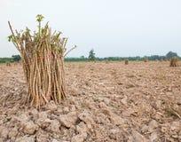 Preparazione della manioca, yucca, Mandioa, manioca, tapioca nel agricul Fotografie Stock
