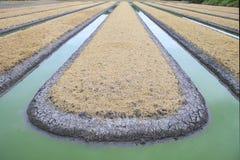 Preparazione della piantagione di verdure del campo in copertura rurale con asciutto Fotografia Stock