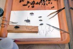 Preparazione della raccolta degli scarabei Fotografia Stock Libera da Diritti