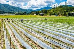 Preparazione di suolo per coltivazione della fragola, giacimento della fragola Immagine Stock