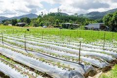 Preparazione di suolo per coltivazione della fragola, giacimento della fragola Fotografie Stock