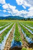 Preparazione di suolo per coltivazione della fragola, giacimento della fragola Fotografia Stock Libera da Diritti
