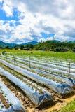 Preparazione di suolo per coltivazione della fragola, giacimento della fragola Immagine Stock Libera da Diritti