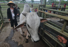 Preparazione per Eid al-Adha in Indonesia Fotografia Stock Libera da Diritti