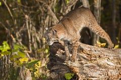 Preparazioni del gatto selvatico (rufus di Lynx) per saltare giù ceppo Fotografia Stock Libera da Diritti