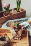 preparazioni della molla a casa Piantatura delle lampadine di fiori del giacinto Hobby di giardinaggio immagini stock libere da diritti