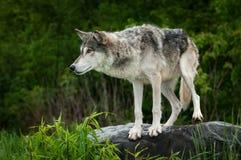 Preparazioni di lupus di Grey Wolf Canis per saltare giù roccia Fotografie Stock Libere da Diritti