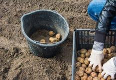 Prepare las patatas para plantar foto de archivo