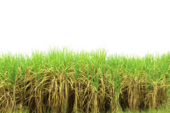 Prepare Sugarcane Field Royalty Free Stock Photo