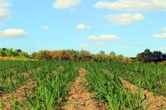Prepare Sugarcane Field Royalty Free Stock Photography