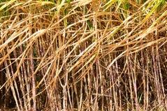 Prepare sugarcane field Stock Image