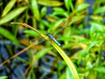 Prepare for Take Off. Beautiful little blue dragonfly surrounded by vibrant green grass Stock Image