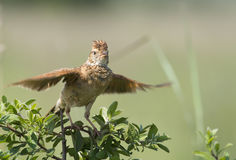 Prepare for takeoff. A Rufous-naped Lark on a bush with wings spread as if for takeoff Stock Photography