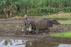Prepare to plow. Farmers prepare a traditional plow that is pulled buffalo in rice fields in Karanganyar, Central Java, Indonesia Stock Images
