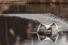 Prepare to takeoff. A swan runs on the water prepare to takeoff Stock Images
