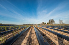 Prepared beds for planting blueberries Stock Photo