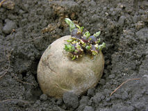 Prepared germinating potato. In the planting process Royalty Free Stock Image