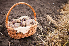 Prepared germinating potatoes before the planting in basket Stock Photos