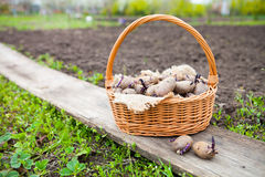 Prepared germinating potatoes before the planting in basket Royalty Free Stock Photography