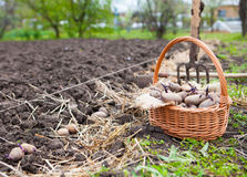 Prepared germinating potatoes before the planting in basket Royalty Free Stock Image