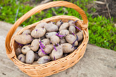 Prepared germinating potatoes before the planting in basket Stock Photo