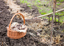 Prepared germinating potatoes before the planting in basket Stock Photography
