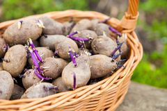 Prepared germinating potatoes before the planting in basket Royalty Free Stock Images