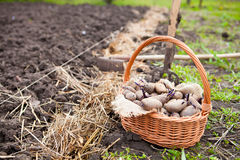 Prepared germinating potatoes before the planting in basket Stock Image