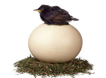 Prepared to wait. A little bird sits in vain on a large egg waiting for it to hatch. It is a futile exercise Stock Photography