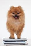 Prepari un cucciolo abile fotografie stock libere da diritti