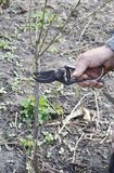 Preparing Apple Tree Branch for Grafting with Knife. Grafting Fruit Trees Step by Step. Grafting Trees. How to Graft a Tree royalty free stock image
