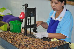 Factory worker preparing cashew nuts for consumption in a  Stock Image