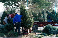 Preparing christmas trees Royalty Free Stock Photos