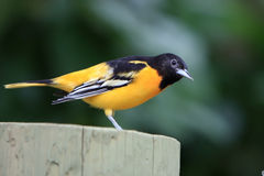 Preparing For Flight. Lovely yellow and black bird on wooden post ready to fly away Stock Images