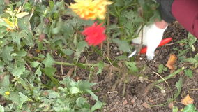 Preparing flower beds for winter stock video footage