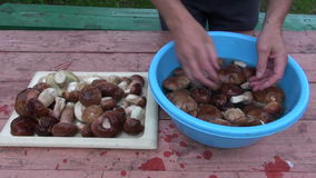 Preparing fresh mushrooms cep boletus on table stock footage