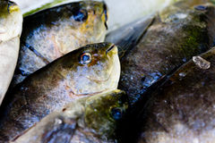 Preparing freshly caught fish - cleaning, butting & filleting Stock Image