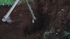 Planting new tree in garden. Preparing ground for planting new tree in garden in spring stock footage