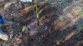 Planting new tree in garden. Preparing ground for planting new tree in garden in spring stock video