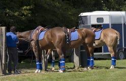 Preparing horses royalty free stock image