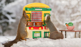 Preparing the meal. Close up of two red squirrels standing  with a kitchen and behind a table with plate and vegetables Stock Images