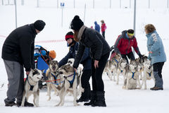 Preparing of sled dogs for the race Royalty Free Stock Images
