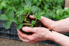 Preparing strawbery plant for planting Stock Image